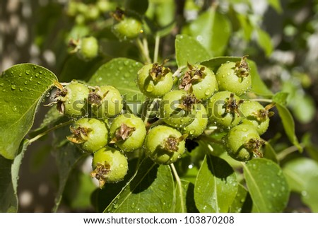 Little green pears on a branch. - stock photo