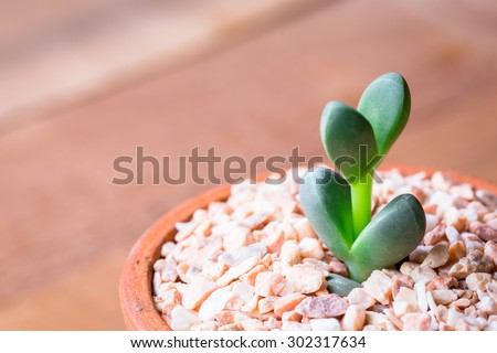 little Green Sedum : succulent plant a kind of Cactus in Clay pots - stock photo