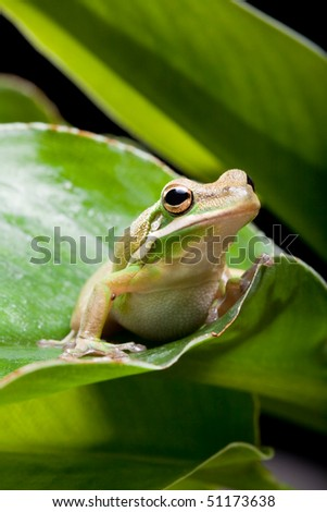 Little green tree frog sitting on a banana leaf - stock photo