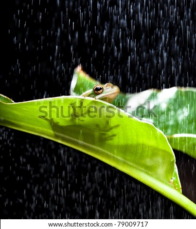 Little green tree frog sitting on a banana leaf in the rain - stock photo