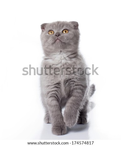 little grey british kitten playing and looking up isolated on white