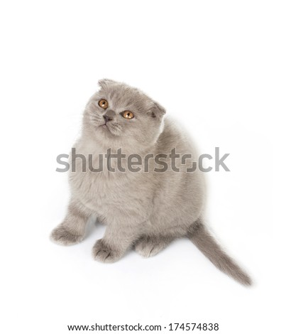 little grey british kitty playing and looking up isolated on white