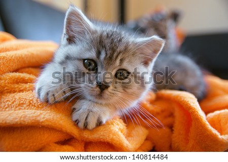 Little grey cat lying on an orange blanket on the couch - stock photo