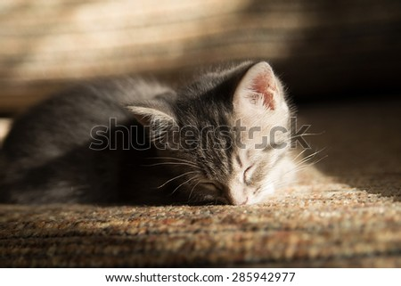 Little grey kitten dreaming on sofa. Indoor