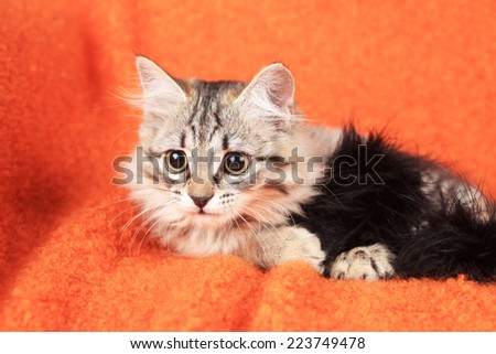 little grey kitten lies  - stock photo