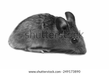 little grey mouse, isolated on white background - stock photo