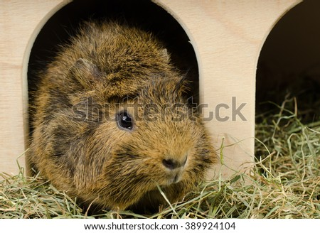 little guinea at home (looks right) - stock photo