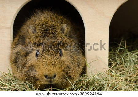 little guinea at home (looks to camera) - stock photo