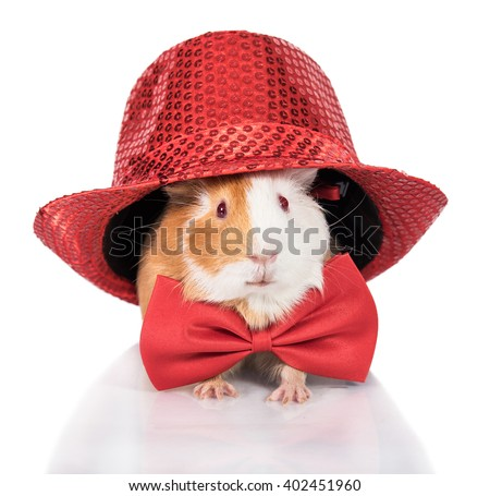 Little guinea pig dressed in a hat and a bow tie isolated on white