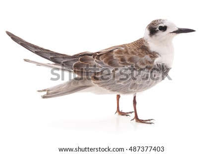 Little gull isolated on a white background.