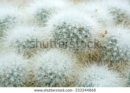 Little hairy ball shaped cactus Cactaceae plant