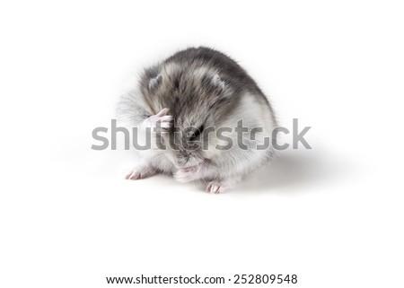 little hamster breaking is head - stock photo