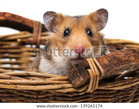 little hamster in a basket - stock photo