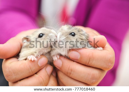 Little hamster in human hands.