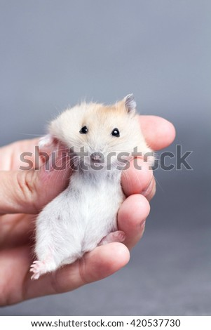 little hamster in the hands of women