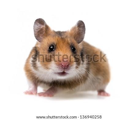 little hamster - white background - stock photo