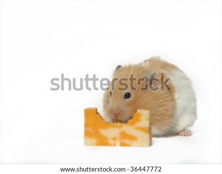 little hamster with a big bite out of the cheese. - stock photo