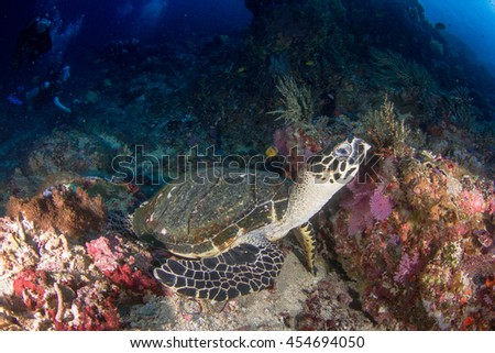 Little Hawksbill sea turtle resting on the healthy reef in depth. Nusa Penida, Indonesia.