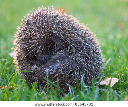 little hedgehog in the grass, autumn
