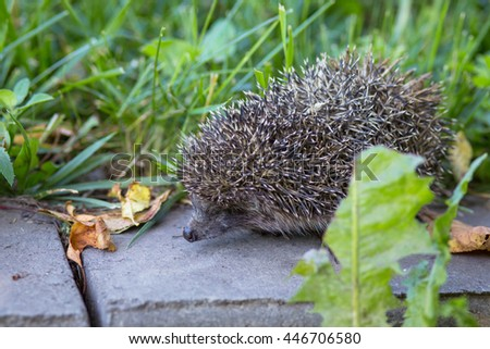 Little hedgehog in the green grass - stock photo