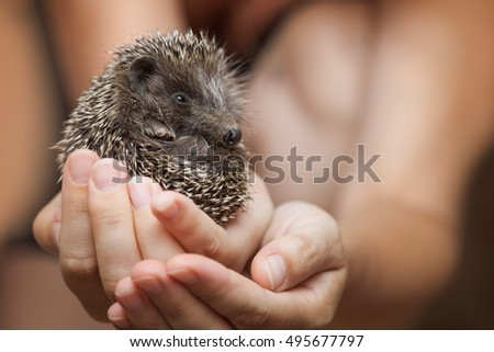 Little hedgehog in the palms