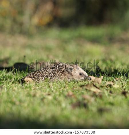 Little hedgehog looking in the garden - stock photo