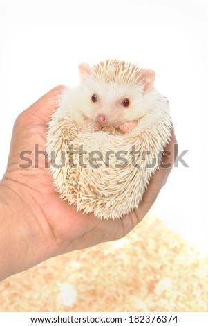 Little Hedgehog on hand - stock photo