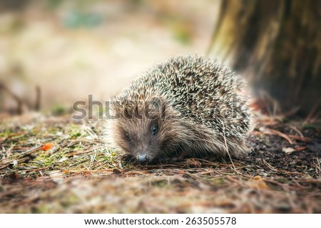 little hedgehog on the forest background - stock photo