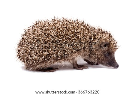 Little Hedgehog ordinary, isolated on a white background, side view