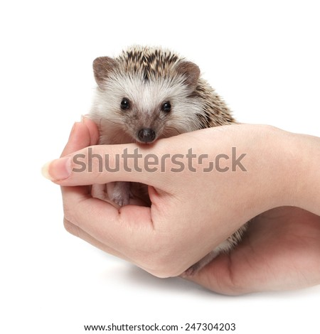 Little hedgehog sits at woman's palms