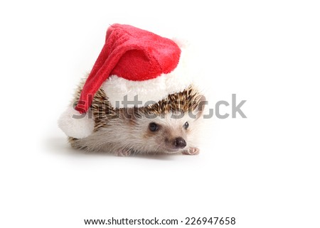 Little hedgehog with Santa claus had on white background.