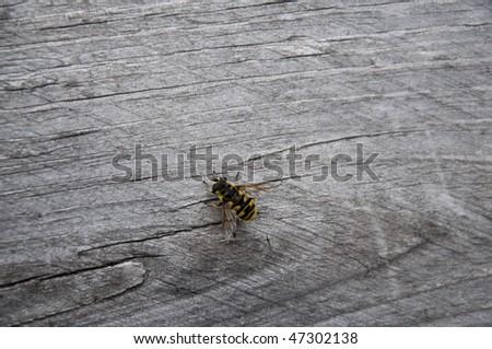 Little hornet - stock photo