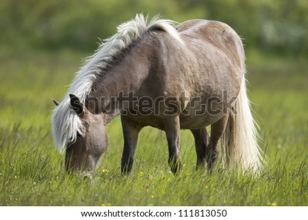 Little horse grazing - stock photo