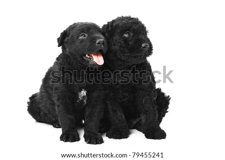 Little hungarian Puli Dog - stock photo