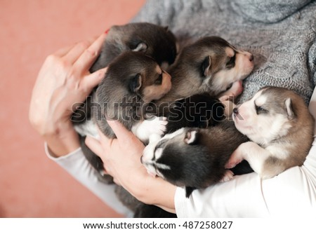 little husky puppies sleeping on female hands. Puppies on the chest