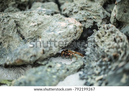 little insect hiding between the stones along the seaside in Maldive islands