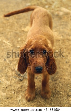 Little irish setter puppy standing and looking. Cute baby dog on the hay. Animal breeding on the farm. Brown dog. - stock photo