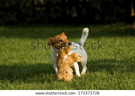 little jack russel running with toy - stock photo