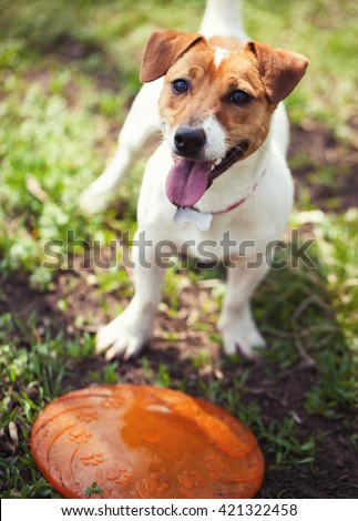 Little Jack Russell puppy plying with disc toy in green park. Cute small domestic dog, good friend for a family and kids. Friendly and playful canine breed - stock photo