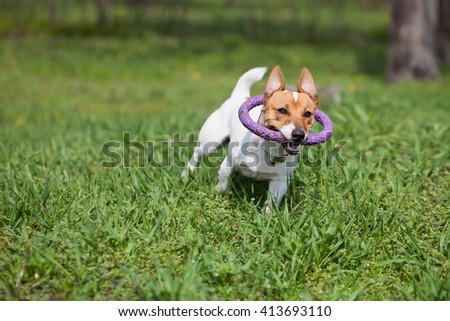 Little Jack Russell puppy running with puller toy in teeth in green park. Cute small domestic dog, good friend for a family and kids. Friendly and playful canine breed
