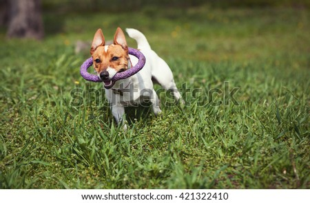 Little Jack Russell puppy running with toy in teeth in green park. Cute small domestic dog, good friend for a family and kids. Friendly and playful canine breed - stock photo