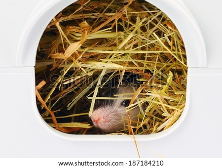 Little japanese mouse sticking his nose from hole, close up - stock photo