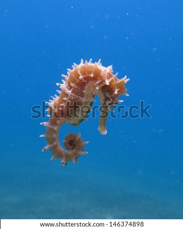 Little Jayakar�´s seahorse (Hippocampus jayakarai) - cute animal flying in shallow blue water, Red sea, Dahab - stock photo