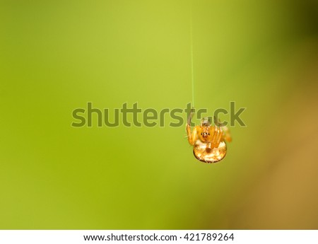 Little Jumping Spider - stock photo