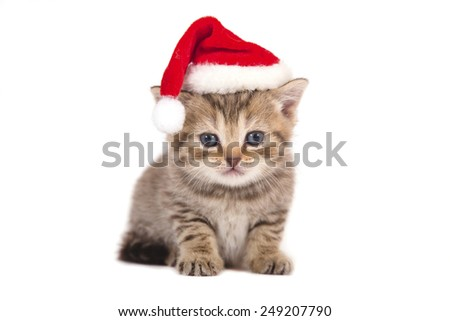 Little Kitten British chocolate tabby Santa Claus. Kitten one month.  - stock photo