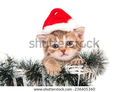 Little Kitten British chocolate tabby Santa Claus sitting in a basket. Kitten one month.  - stock photo