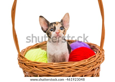 Little kitten Cornish Rex in a basket, isolated on white