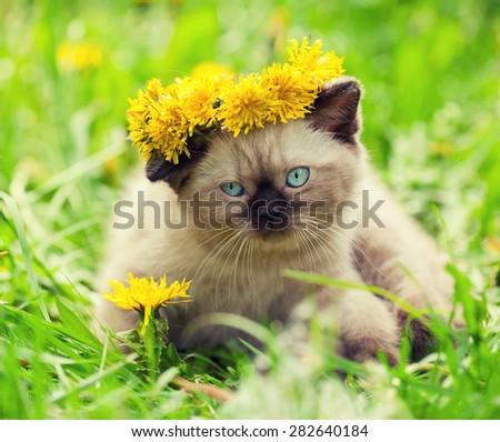 Little kitten enjoing summer  in the dandelion lawn - stock photo