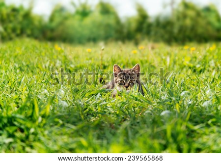 Little kitten hiding among green grass and staring at camera in summer outdoor