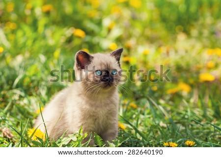 Little kitten in the dandelion lawn - stock photo